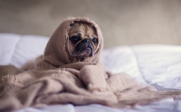 close-up-photography-of-fawn-pug-covered-with-brown-cloth-374898