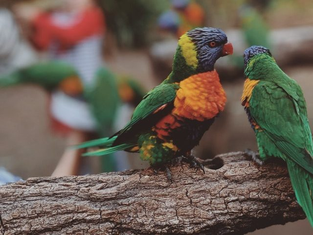 close-up-photo-of-two-parrots-2598755